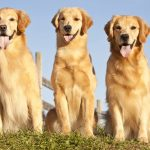 Facts about Golden Retrievers – Should you take care of one?